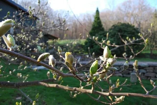 magnolia-budding