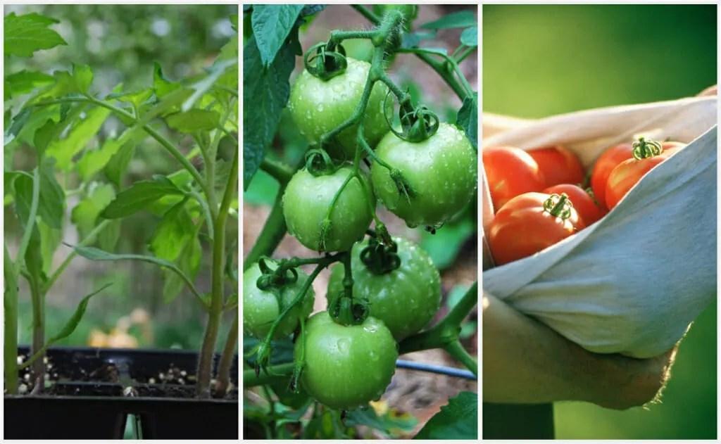 tomato-collage