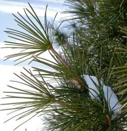 umbrella-pine-detail.jpg