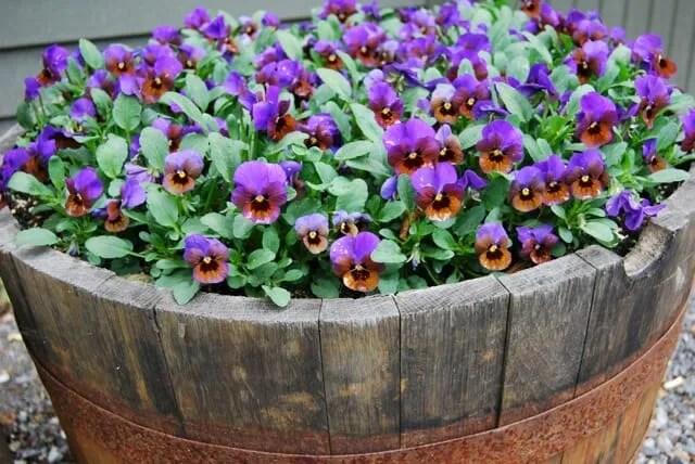 viola-blue-bronze