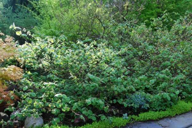 corylopsis-spicata-shrub.jpg