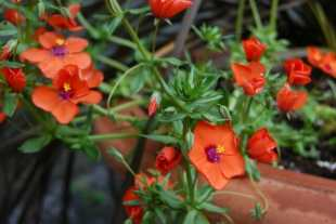 may-30-anagallis-wildcat-mandarin.jpg