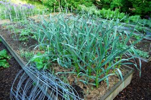 may-30-garlic-bed.jpg