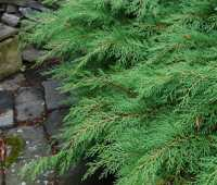 beloved conifer: microbiota decussata