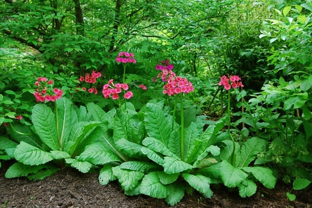 primula-japonica-grouping