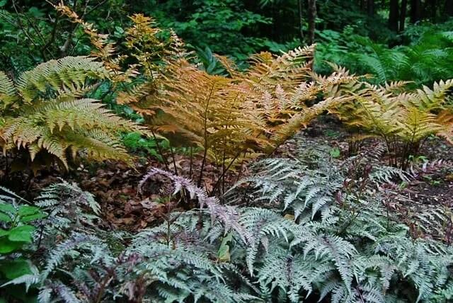 Colorful Ferns In Garden