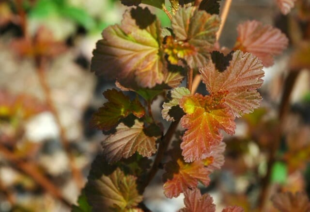 coppertina-physocarpus-leaf