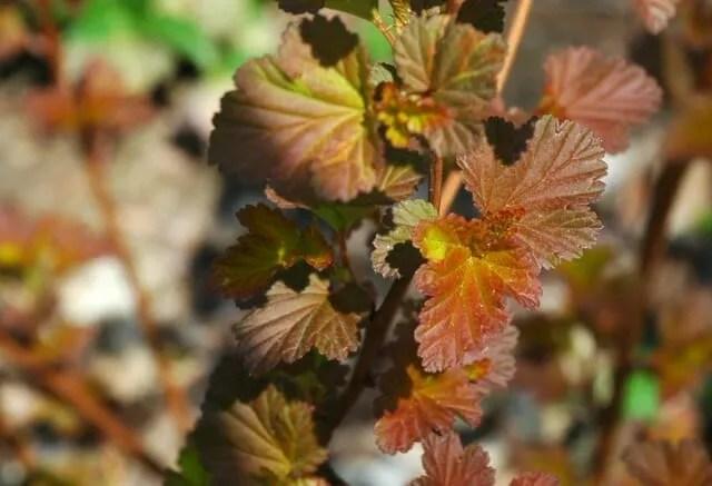 coppertina-physocarpus-leaf