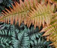 2 ferns with more lasting color than any flower