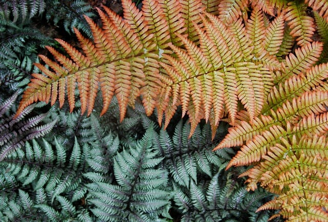 japanese painted fern and autumn fern