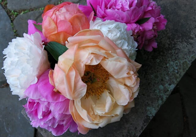 finally a confession i dont grow any of the big blowsy peonies in the garden beds here i reserve them for a row in the out of the way cutting area