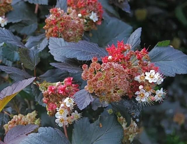 physocarpus-seeds