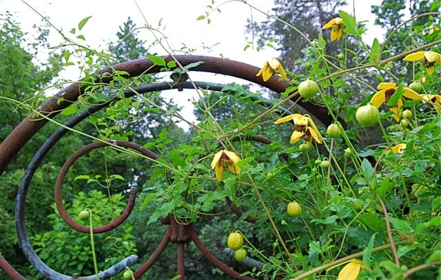 yellow-clematis