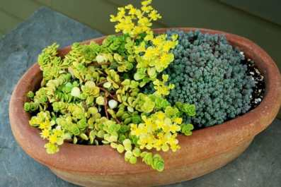 bowl-of-sedum