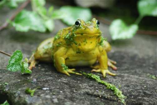 indignant-male-frog