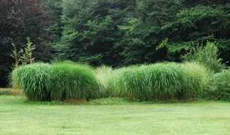 miscanthus-on-hill