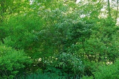 viburnum-setigerum-flower