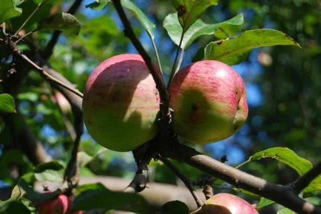 battered apples