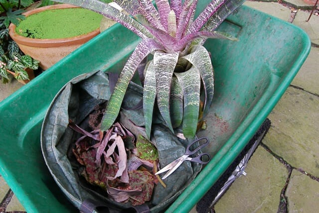 houseplant in wheelbarrow