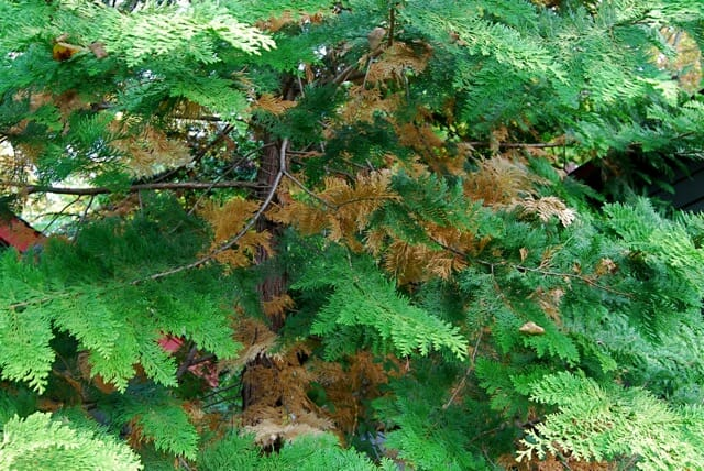 browning conifer foliage