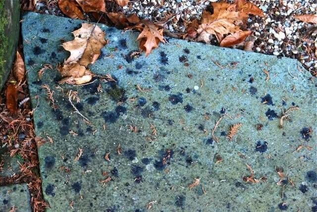 bird poop of aralias