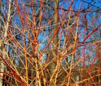 great shrub: cornus sanguinea 'winter flame'