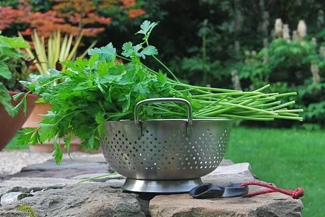 parsley-harvest