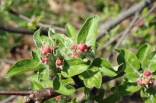 apple-pink-bud-stage