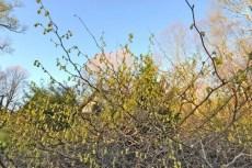 corylopsis-spicata-branches