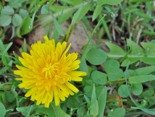 What weed is it putting names to pesky plants a way to garden dandelion 3 mightylinksfo