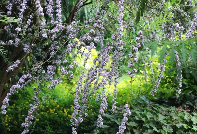 Great Shrub The Other Butterfly Bush A Way To Garden