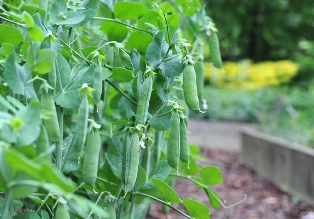 Peas ready to harvest.