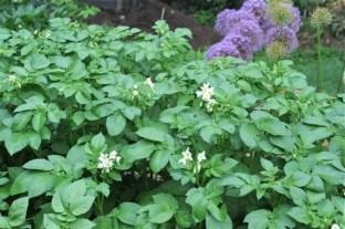 potatoes-flowering
