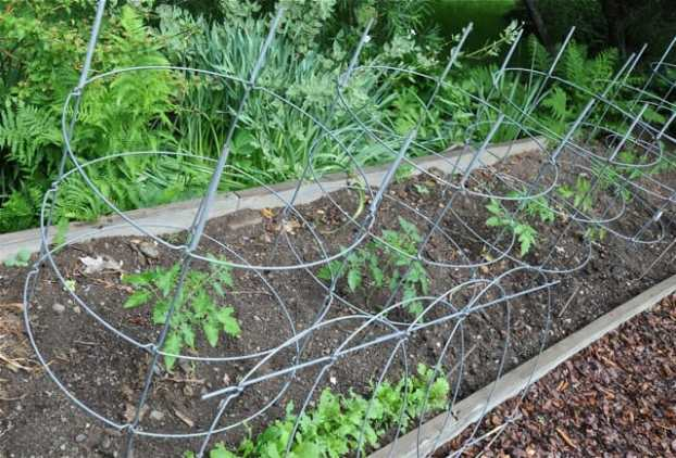 tomato-cages-up