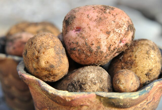 fresh dug potatoes