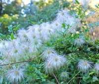 clematis: sexy seedheads, but where's the seed?