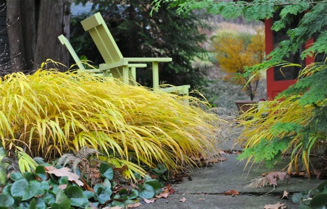 hakonechloa all gold fall