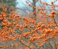 tough year for winterberry, but what about birds?