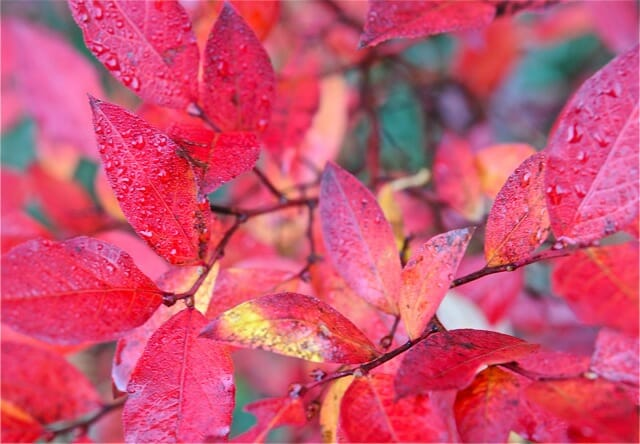 Fall Leaves Falling Wallpaper 12 Trees And Shrubs For Great Fall Foliage Color A Way