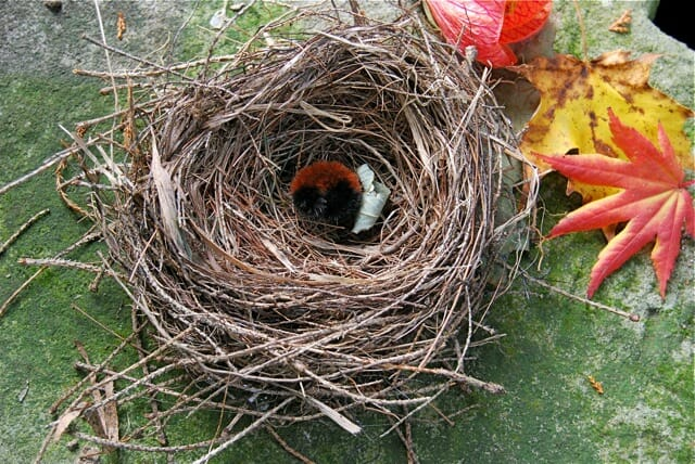 nest-with-woolly-bear