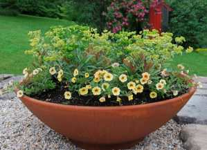 euphorbia-big-bowl