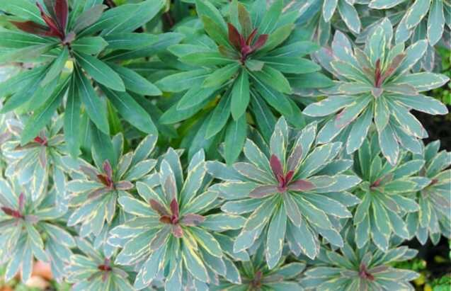 euphorbia-helenas-blush-reversion