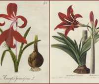 post-holiday cheer: alcohol for sturdy amaryllis