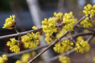 cornus-mas-blossom-09