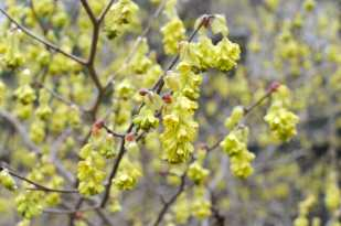 corylopsis-spicata-flower-detail
