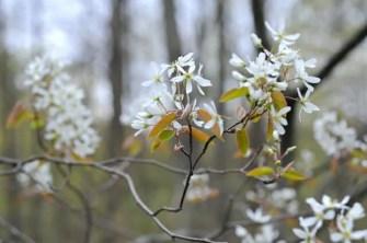 amelanchier-flowers