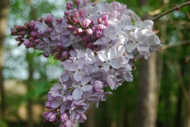 blanche-sweet-lilac