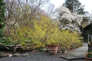 corylopsis-and-magnolia