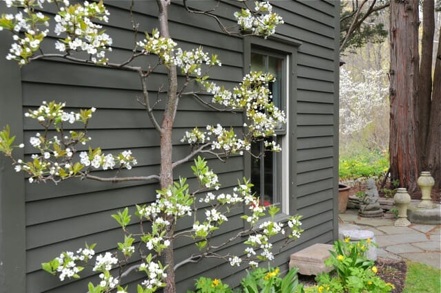 espaliered-asian-pear-2011