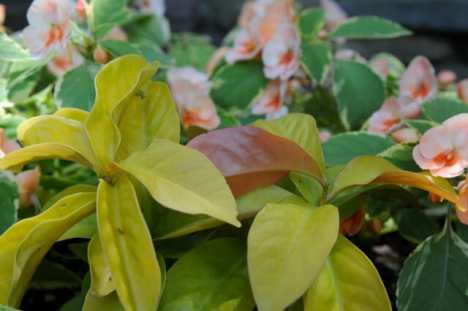pereskia-lemon-vine-and-impatiens
